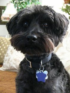 One simply cannot live without a schnoodle