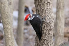 Listen for Woodpeckers Making Their Winter Homes This Fall | Pileated Woodpecker. Photo: Cathy Eaton/Audubon Photography Awards