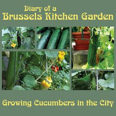 Growing Cucumbers and Squash in the City