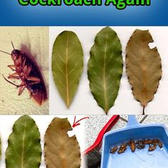 No matter how clean you keep your house, you can still have a roach problem.Nobody wants their sweet homes to get occupied by the roaches. Roaches running over your kitchen items makes life hell an…