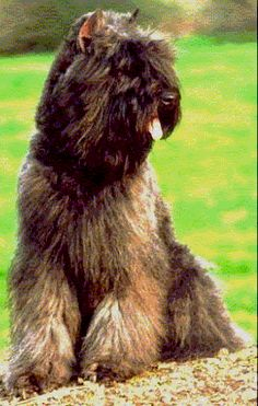 Bouvier de Flanders -  nothing personal Dooney - but this is my favorite dog breed