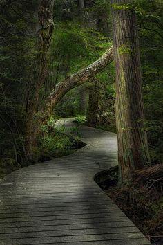 The boardwalk that winds thru the Atlantic White Cedar Swamp, in Wellfleet Cape Cod MA.