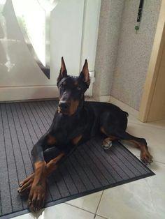 Cutest Animals On Earth, Animals And Pets, Cute Animals, Black Doberman, Doberman Love, Big Dogs, Cute Dogs, Doberman Pinscher Dog, New Puppy