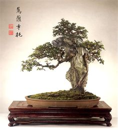 Stunning penjing tree, attached to a rock