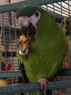 Percy my Hahns macaw