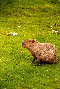 #Capybara coolest animal