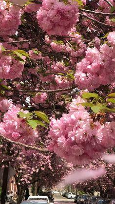 Japanese Flower Tree, Japanese Blossom, Cherry Blossom Japan, Cherry Blossoms, Garden Trees, Flowers Garden, Spring Flowers, Cherry Blossom Wallpaper, Pink Trees