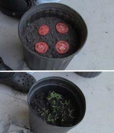 25 Amazing DIY Kitchen scraps (vegetables, fruits, herbs) that you can re-grow Tomaten anbauen