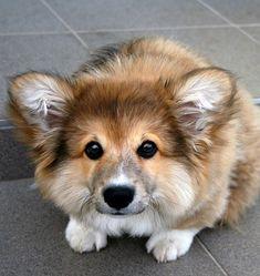 Fluffy corgi! Ahhh so cute!!