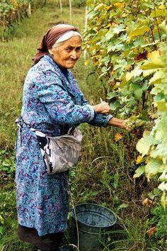 Crone Picking Grapes