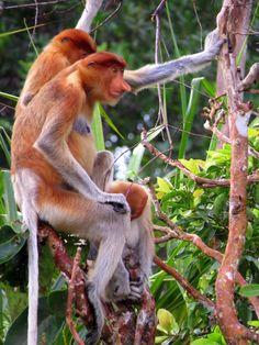 Proboscus monkey, Tanjung Puting National Park, Kalimantan, Indonesia