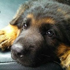 Adorable! German shepherd puppy