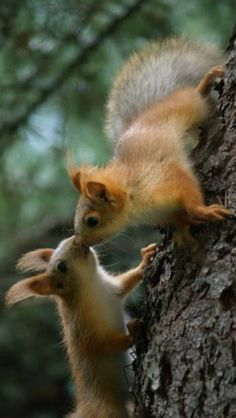 There are lots of squirrel like mammals like the ground hog, gopher as well as prairie dog. When it comes to foods, what do squirrel love to eat? Squirrel Pictures, Cute Animal Pictures, Nature Animals, Animals And Pets, Beautiful Creatures, Animals Beautiful, Cute Baby Animals, Funny Animals, Cute Animals Kissing