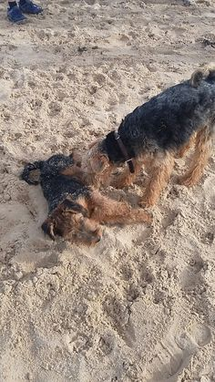 Two Welsh terriers meet up
