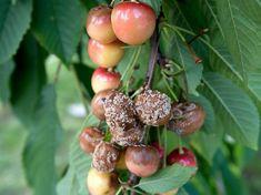 moniliás cseresznye Fruit, Food, Eten, Meals, Diet