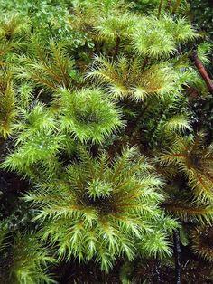 Umbrella moss - Hypnodendron sp | Flickr - Photo Sharing!