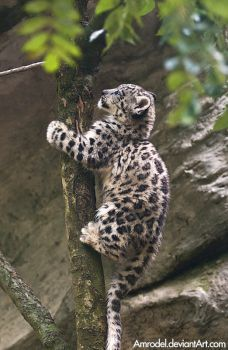 Snow leopard cub (Panthera uncia or Uncia uncia), photo taken in Zoo Jihlava, Czech Republic