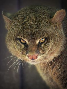 The jaguarundi, also called eyra cat, is a small-sized wild cat native to Central and South America.