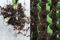 How to Propagate Snake Plants: Growing Snake Plant Cuttings Tall Potted Plants, Large Plants, Water Plants, Cool Plants, Indoor Plants, Pothos Plant, Plant Cuttings, Rubber Plant, Rubber Tree