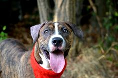 TO BE DESTROYED - 09/16/15 - Manhattan Center  My name is CIARO. My Animal ID # is A1049562. I am a male br brindle and white pit bull mix. The shelter thinks I am about 11 MONTHS old.  I came in the shelter as a STRAY on 08/28/2015 from NY 10301, owner surrender reason stated was STRAY.