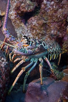 Lobster by todd_s_reimer