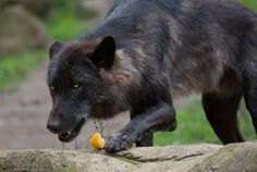 mein Apfel-© All images are copyright protected and are the property of gaby harig Beautiful Wolves, Animals Beautiful, Nature Animals, Wild Animals, Wolf Goddess, Mystical Pictures, Tattoo Wolf, African Wild Dog, Wolf Pup
