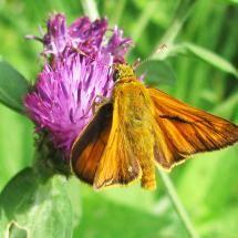 A Skipper butterfly, Ochlodes venatus