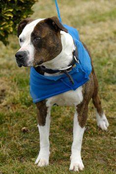 Storm 39 Breed:Pit Bull Terrier Age: Adult Gender: Female Shelter Information: Johnson City/Washington Co. Animal Shelter 525 Sells Ave  Johnson City, TN  KILLED