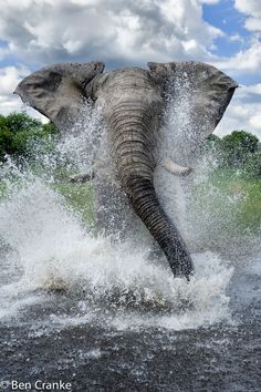 Charging Elephant in Botswana