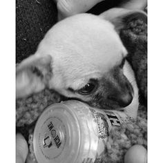 Parece que nuestro chihuahua del spot de VCH Plus se ha encariñado con la lata (foto de @ariadna_pm)