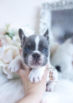 French Bulldog Puppy #602 | Teacup Puppies & Boutique Lilac French Bulldog, Miniature French Bulldog, Mini French Bulldogs, Merle French Bulldog, Blue French Bulldog Puppies, French Bulldog For Sale, Teacup Puppies For Sale, Bulldog Puppies For Sale, Funny Dachshund