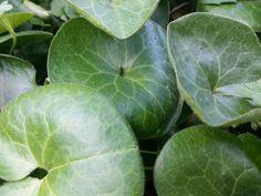 Asarum europaeum Asarabacca 3 plants