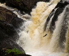 Salmon Leaping & Jumping at Rogie falls in Ross-Shire Scotland,