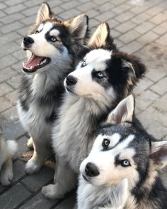Wonderful All About The Siberian Husky Ideas. Prodigious All About The Siberian Husky Ideas. Malamute Husky, Husky Puppy, Cute Puppies, Cute Dogs, Dogs And Puppies, Doggies, The Animals, Cute Baby Animals, Wolf Husky