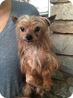 ●☆●2/18/16 SL●☆●Verona, NJ - Yorkie, Yorkshire Terrier. Meet Mickey, a dog for adoption. Mickey is a tiny Yorkie available for adoption, weighing in at 4lbs at 8 years old. This little guy is ready to find a forever home on the East Coast! http://www.adoptapet.com/pet/13807526-verona-new-jersey-yorkie-yorkshire-terrier