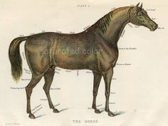 Horse Art - High Res DIGITAL IMAGE to print and frame - pillows, totes & cards ~ Antique Horse Vet Chromolithograph ~Vintage Horse Print