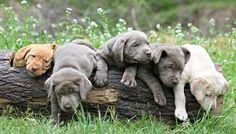 Silver Lab breeders, Labrador Retrievers, For sale, silver lab puppies, chocolate, Silver lab puppies Silver Labs N Stuff, Tennessee, Heathridge kennels