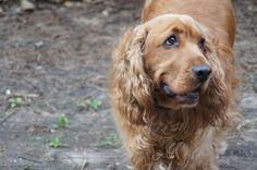 Dog - English Cocker Spaniel - BRAZIL on www.yummypets.com