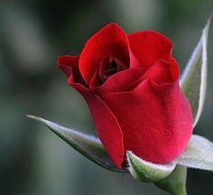 botão-rosa-vermelha