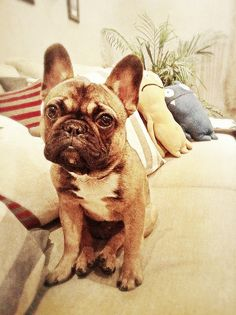 #frenchie love