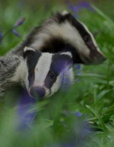 Photograph Badgers in Bluebells by Matt Binstead on 500px