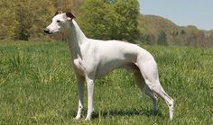 Whippet Dog Breed Information Akc Dog Breeds, Whippet Dog, Lionhead Rabbit, Italian Greyhound, Doberman, Beautiful Dogs, Dog Art, Mans Best Friend