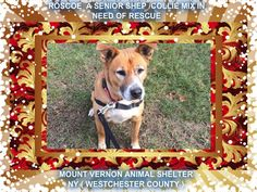 "Roscoe does not mind older dogs , still very young at heart , does not like to ""play"" he would do well in a mature adult household and enjoy's companionship . Roscoe is house trained & he is in foster care. If interested please call Megan @ the shelter. (914)665-2444"