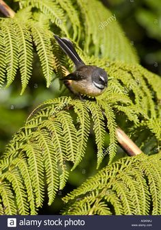 Fantail bird rhipidura fuliginosa perched on a silver fern tree frond in New Zealand Stock Photo