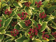 Use evergreen shrubs for vibrant flowers, leaves and stems all year long. Flip through this gallery from HGTV Gardens to find the best shrubs for your landscape.
