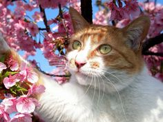 Purrsday Poetry: Sakura Cat Haiku spring evening – as the cherry trees perfume sneaks in, cats purr in their dreams… #Cat, #Cats, #Cute, #Funny, #Katze, #Katzen, #Katzenworld, #Kawaii, #Pets, #ねこ, #猫 #purrsdaypoetry Orange Tabby Cats, Red Cat, Nom Pour Chat Male, I Love Cats, Cute Cats, Cute Cat Names, Orange And White Cat, Sakura Cherry Blossom, Cherry Blossoms