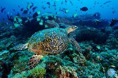 Penyu Pulau Derawan