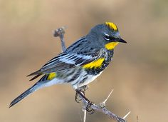 Audubon's warbler - also called Yellow-rumped warbler.  A flock of these came through Longview in April and May of 2015.