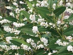 hardenbergia whiteout01