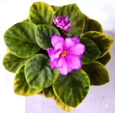 Robs Zipper Zapper: This is a semi-miniature variety known as Robs Zipper Zapper. The leaves are dark green in color. The leaves are pointed in shape. The flowers are deep pink in color with a wide...